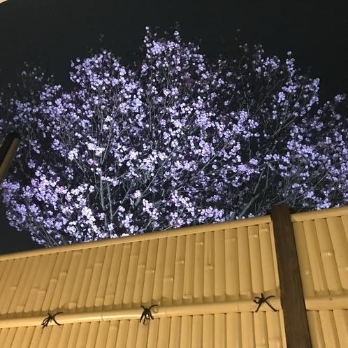夜桜 3月下旬~4月上旬ご覧いたたけます