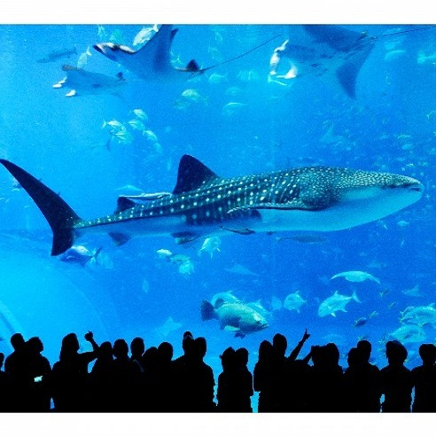 海洋博公園 沖縄美ら海水族館(4)