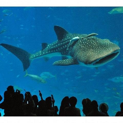 海洋博公園 沖縄美ら海水族館(3)