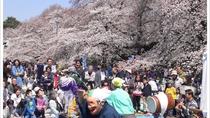*小金井公園の桜