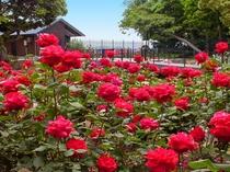 サムエルコッキング苑のバラ