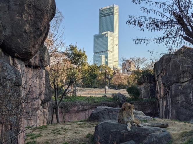 天王寺動物園ライオンとあべのハルカス