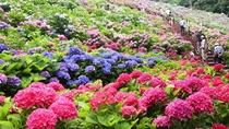 *約5万株のあじさいが里いっぱいに咲き誇ります。