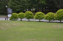 前庭のドウダンツツジ
