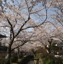 満開の桜と哲学の道