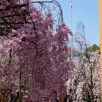 平野神社 見事なしだれ桜