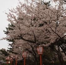祇園神社横の丸山公園はお花見スポット