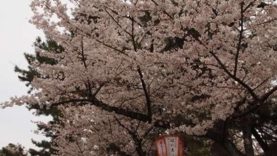 八坂神社横の円山公園。お花見スポット♪