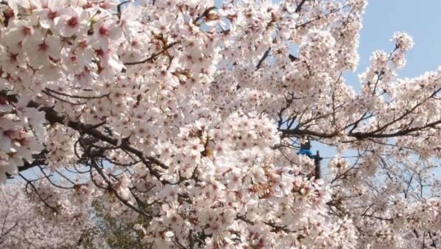 京都は桜の名所がたくさんあります!