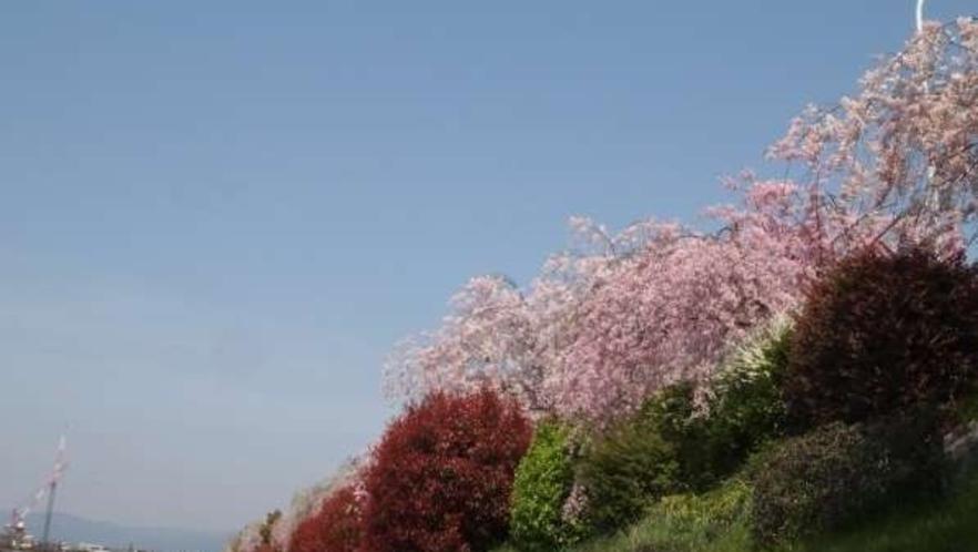 鴨川沿いの桜並木。