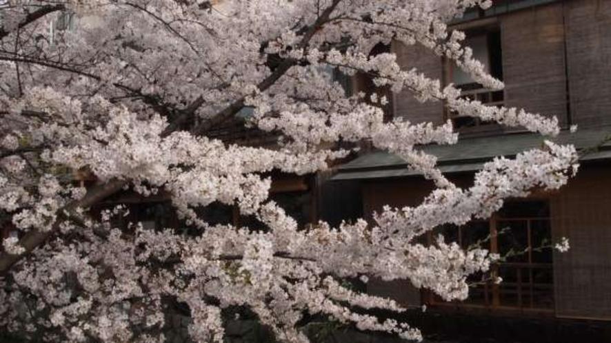 祇園の桜♪