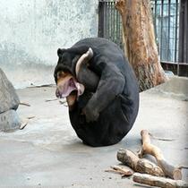 徳山動物園 「困り熊」ツヨシくん