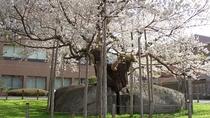国の特別天然記念物 石割桜