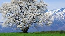 ◆小岩井農場の桜