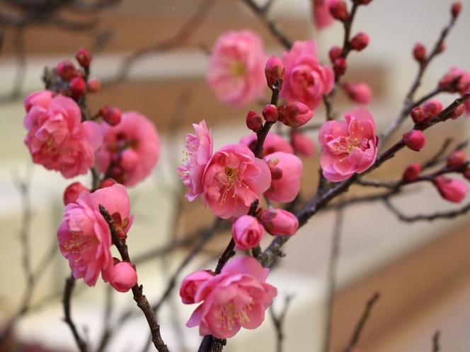 三景園の梅