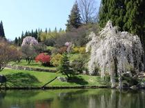 三景園しだれ桜