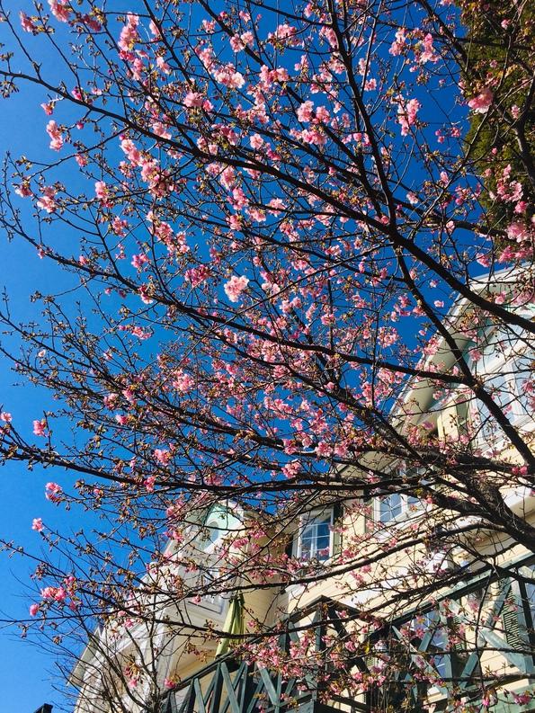 リバティーヒルと河津桜