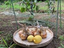自家農園で採れたレモンと玉ねぎ