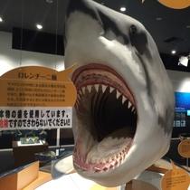 【周辺施設】「シャークミュージアム」サメ水揚げ本場の気仙沼、実物大のサメを近くで見たり子供も楽めます