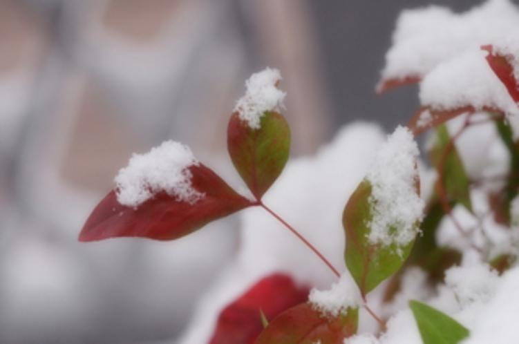 冬(赤芽と雪)