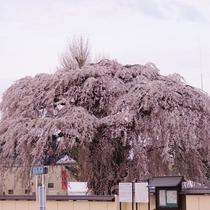 法亀地のしだれ桜