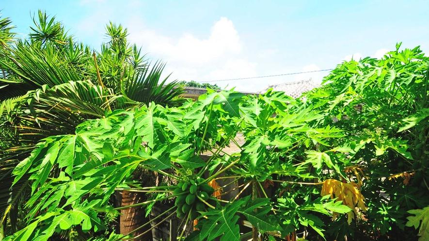 【パパイヤの木】まっすぐに伸びた幹に大きな葉をたくさんつけることが特徴です