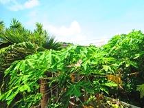 【パパイヤの木】まっすぐに伸びた茎に大きな葉をたくさんつくことが特徴的です。