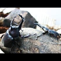 【大自然】カブトムシとクワガタ