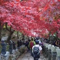 *[秋の大山阿夫利神社]本堂前の石段を覆う真っ赤なモミジが見物客の目を楽しませてくれます。