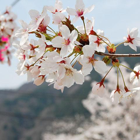 ■桜イメージ