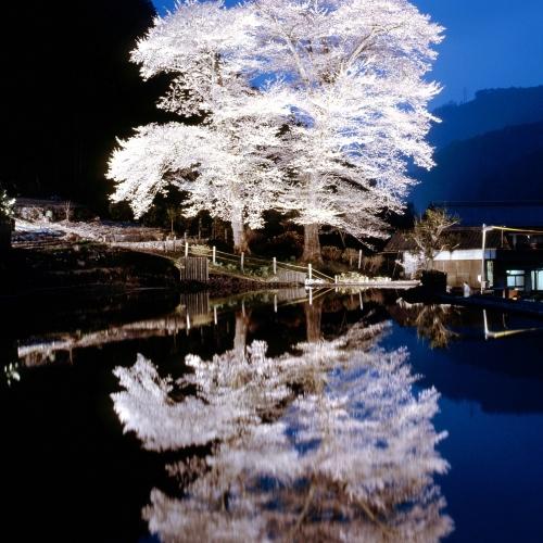 ◆【苗代桜】水面に映る幻想的な姉妹桜