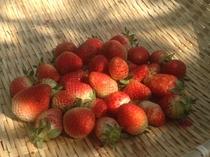 自家製無農薬イチゴ