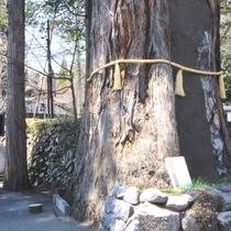 当館目の前にある戸隠神社中社の三本杉