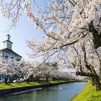 鶴岡公園の桜