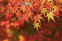 秋にはお庭のもみじが鮮やかに彩ります