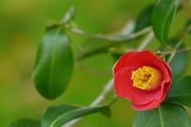 12月以降は可憐な椿・山茶花の花が咲き始めます