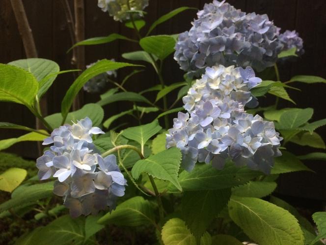 7月は紫陽花がお庭で咲いています