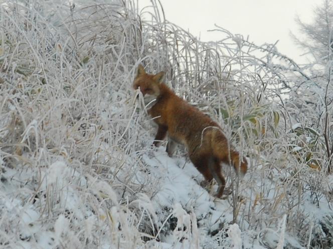 ホンドキツネ(冬)