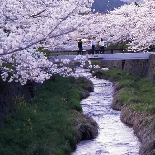 *一の坂川の桜 約200本の桜が咲き誇ります