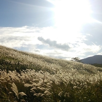 秋は黄金色に輝く仙石原すすき草原