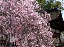 平野神社のさくら