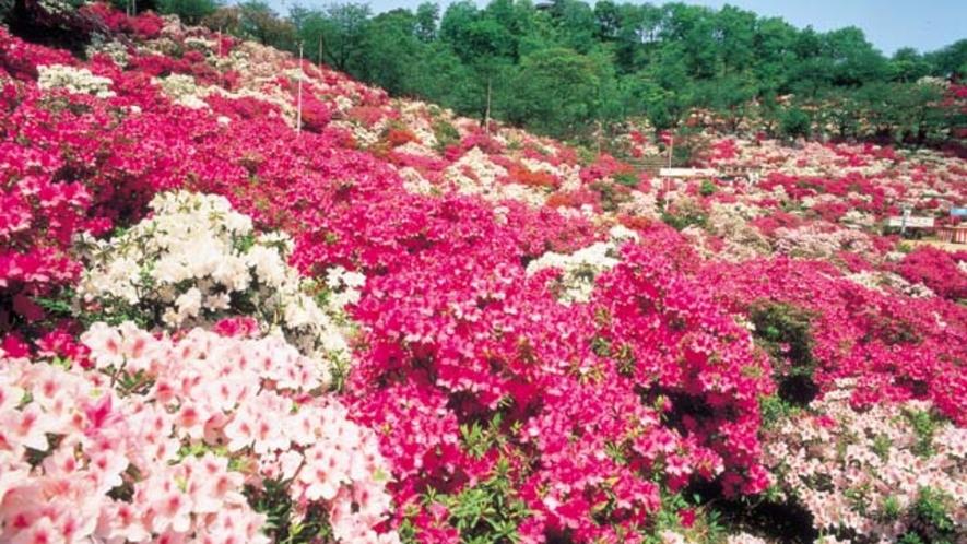 鯖江市民の憩いの場「西山公園」春のさくら・つつじは見ごたえあります 車で20分