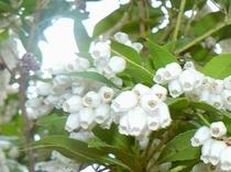 アセビ(白) 春〜