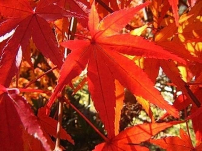 かえで 秋〜