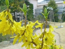 レンギョウ 春〜
