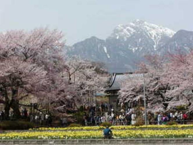 春:神代桜