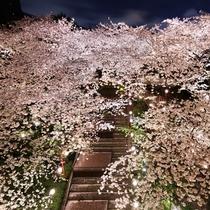 日本庭園の夜桜