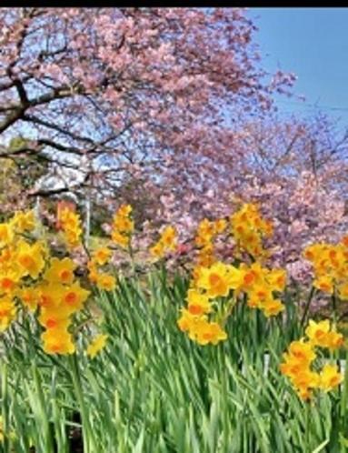 桜&菜の花まつり
