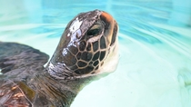 施設で保護しているアオウミガメ
