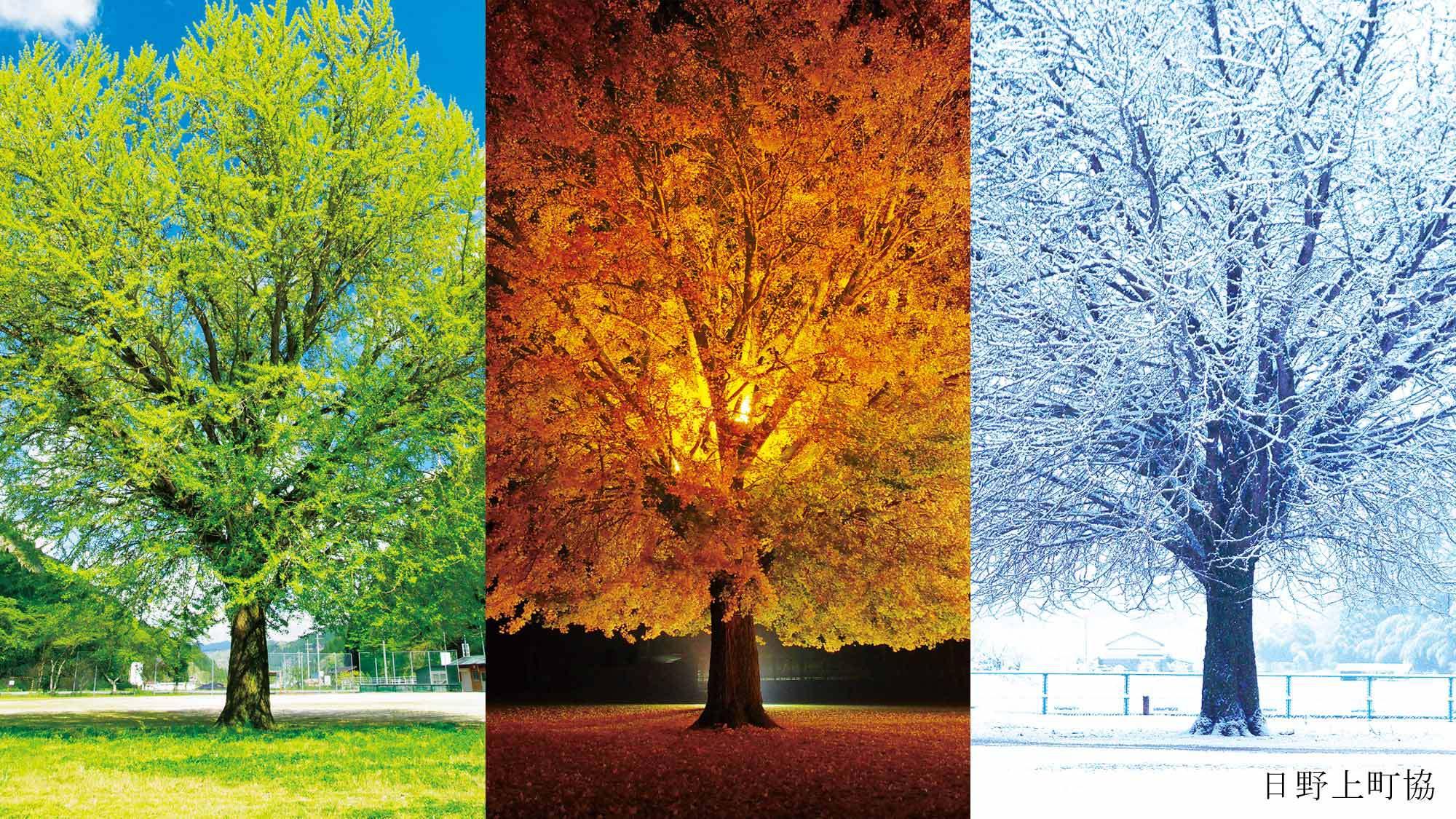 【旧日野上小学校】四季折々の変化が楽しめる大イチョウ